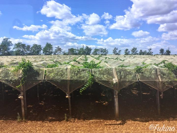アルベロベッロ周辺では、ぶどうやオリーブの栽培も盛ん